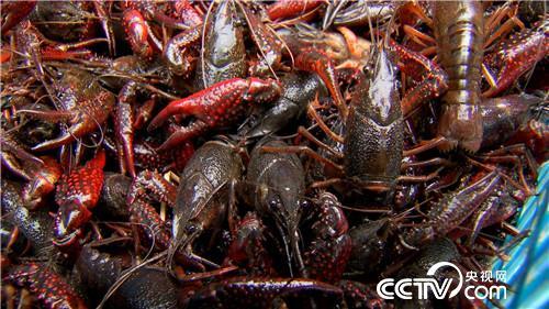 致富经:怪病缠身后 靠小龙虾改变命运 4月20日