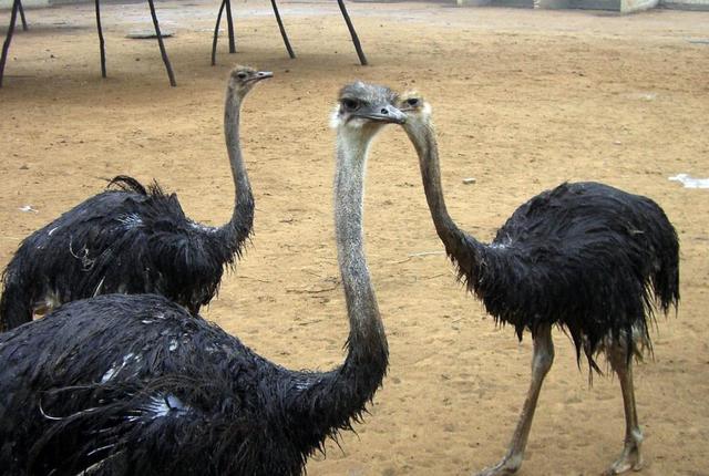 驼鸟养殖,<a href=https://www.zhifujing.org/zfxm/ target=_blank class=infotextkey>致富项目</a>还是养殖骗局?一只驼鸟一年能赚10000元