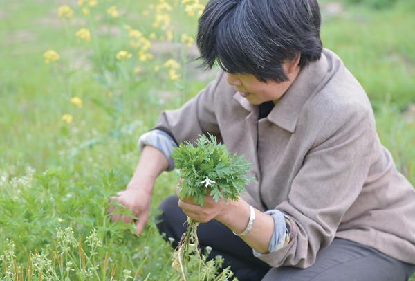 艾草种植利润分析:口碑好利润高