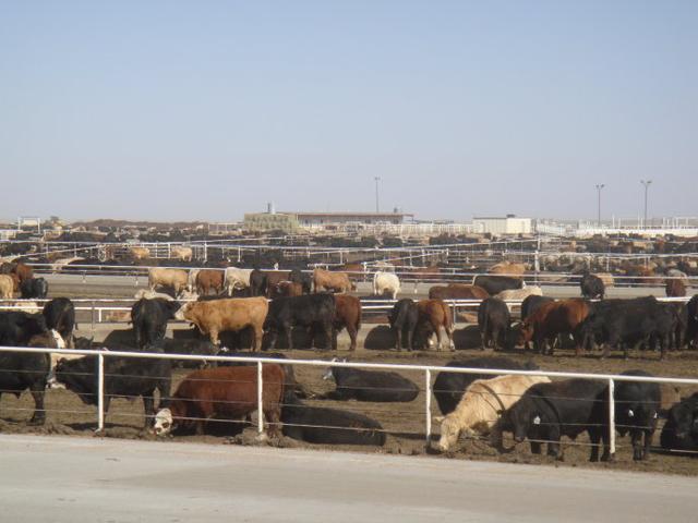 危害中国肉牛养殖业的潜规则