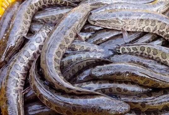 中国养殖回报率最高的十种淡水鱼