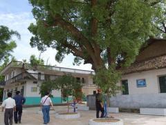 谈农村:农村院子种树有讲究,切不可乱种!
