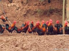 2万元钱就想养土鸡,闹着玩还行,1000只鸡都养不活
