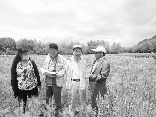 遗传发育所与西藏农业研究所的科研人员在彩色冬小麦的实验田中。
