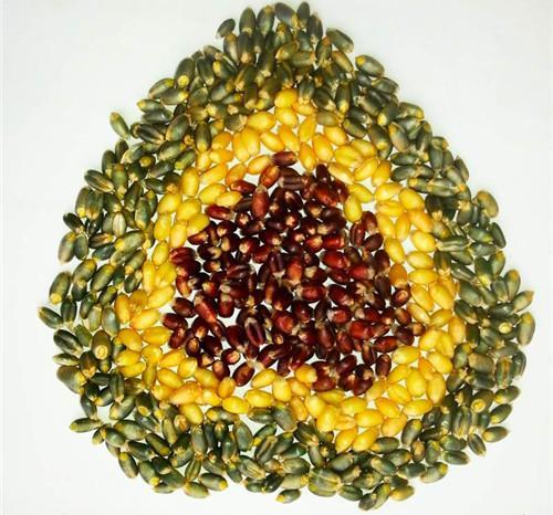 神奇的长寿食物——彩色小麦