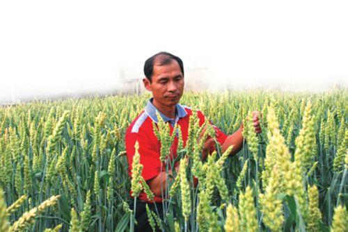 种彩色小麦一亩卖出两亩的钱