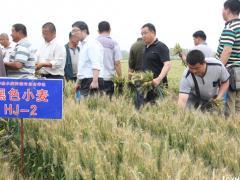 五千亩彩色小麦可让农户增收三百万