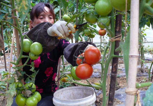 农村大嫂种番茄有绝招,一个夏天净赚五万多