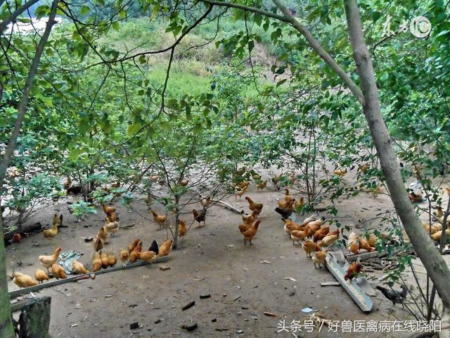 林下养鸡赚钱多,但要注意这几点
