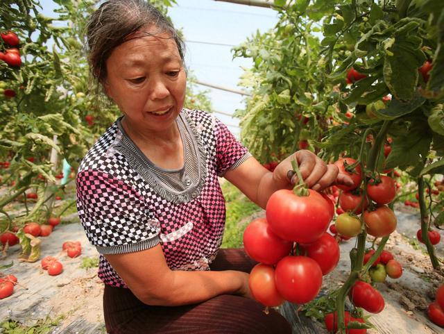 """别人靠种番茄赚小钱,这位大哥靠种番茄""""苗""""赚了大钱"""