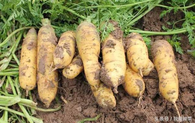 入伏了开始种萝卜了,品种这么多,看看您选的对不对