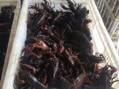 养殖小龙虾每亩投入多少?产出比如何?最专业的小龙虾亩均利润分析!