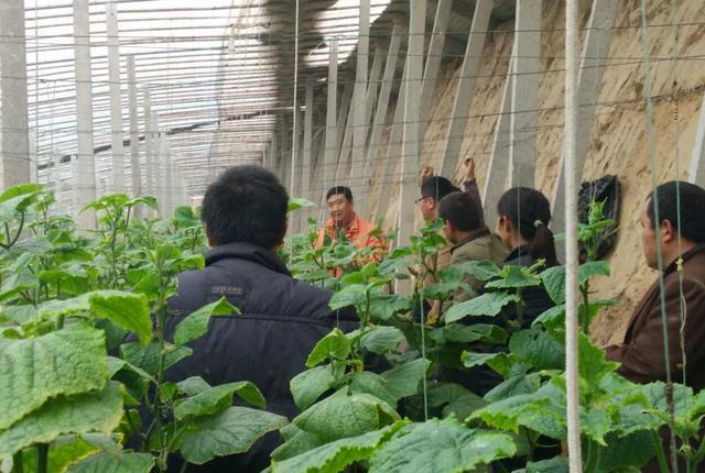 """黄瓜高产种植新方法,绝招是用""""糖"""""""