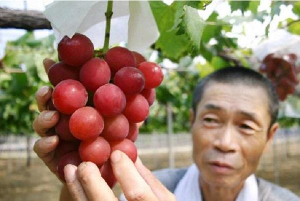 2017年世界十种最贵的水果排行榜,有8种都是日本种植的