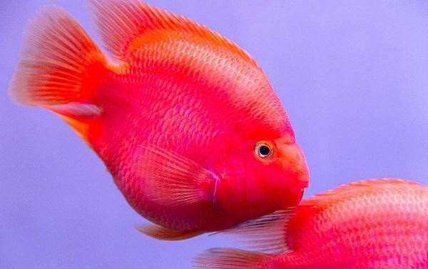 十大最受欢迎的观赏鱼排名,养殖这些鱼不会吃亏