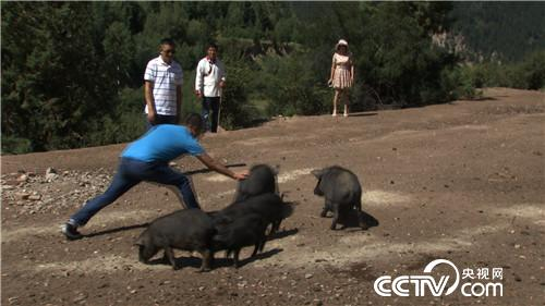 致富经:骗回藏香猪 一斤能卖一百多(20170815)