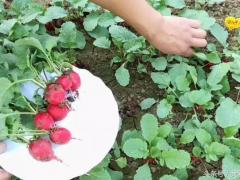 最适合家庭种植的萝卜是它,仅30天就收获