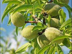 中国农民最适合种的7种坚果树,易种植、赚钱多