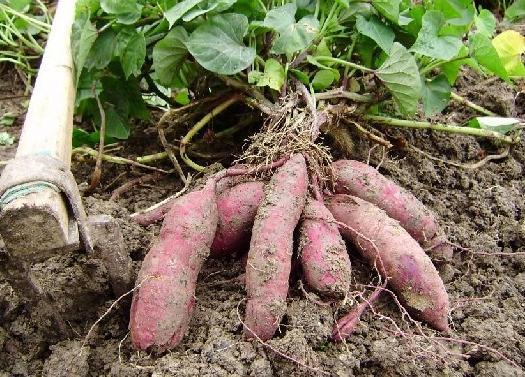 你见过长在空中的红薯吗?好神奇!究竟是怎么做到的?