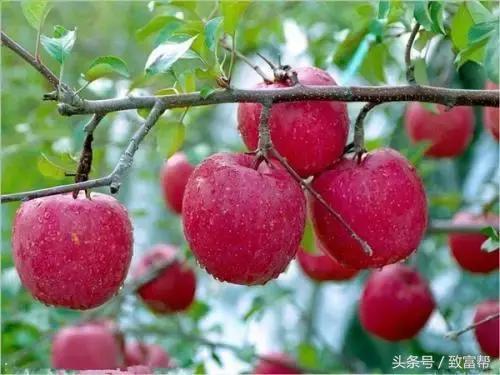 都在种苹果?您得这样才是佼佼者!