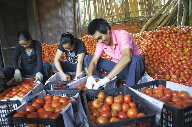 种番茄,用好这个,想不高产都难