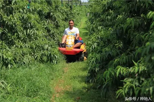 这个中国农民种出的桃子比日本的还要好吃!