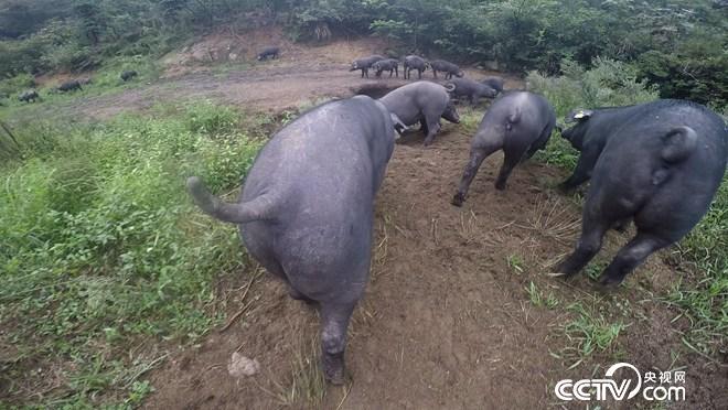 致富经:让懒猪变勤快 年入千万财(20171010)