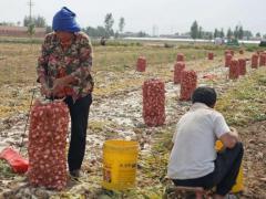 都说种植大蒜不赚钱,谁也没想到,这个蒜农赚了大钱