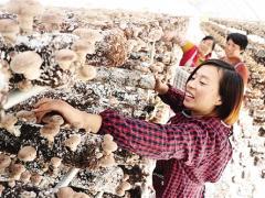 大棚香菇铺富路