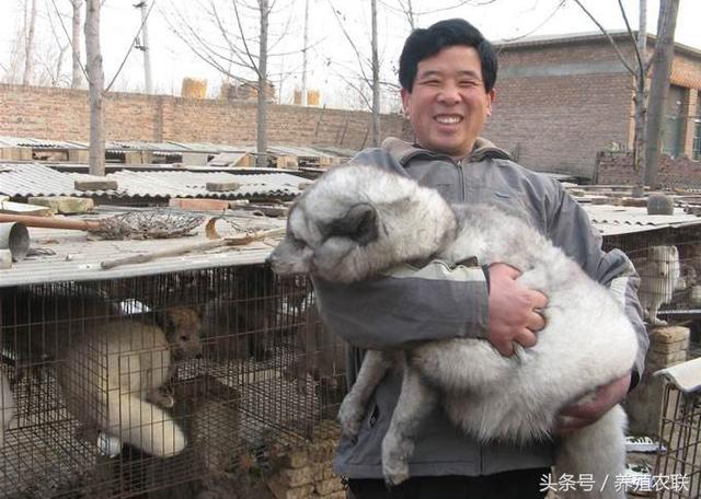 狐狸繁殖要把好六关,狐狸养殖须关注毛皮市场价格,把握出货时机