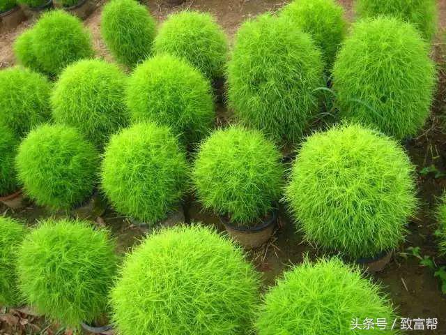 不仅是扫帚,更是美食和美景!这种草让一亩地的纯收益不止4000元