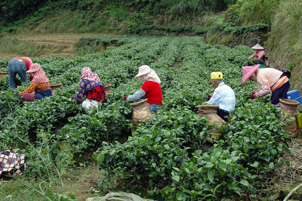 茶乡父子兵 带动茶农致富路
