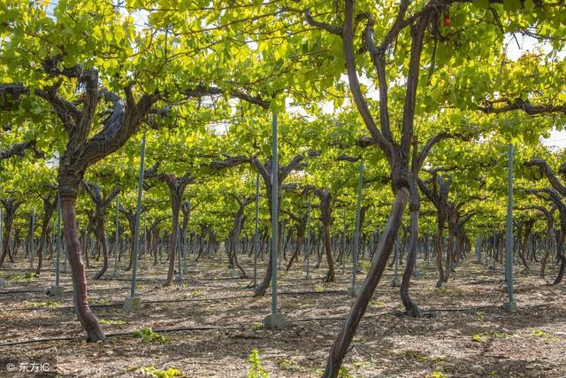 别人家种的葡萄长得好好的,自己种的葡萄怎么会裂果?这该怎么办