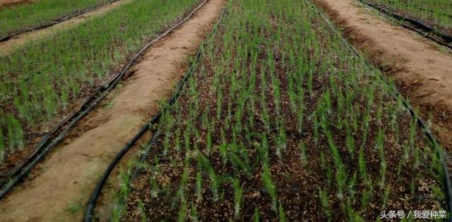 芦笋那么贵,自己种,种一次能采摘十几年,真划算