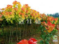替代全国杨树的新树种-冠红杨
