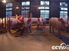 [致富经]美女老师快乐养猪 一头多卖3000多元 20181122