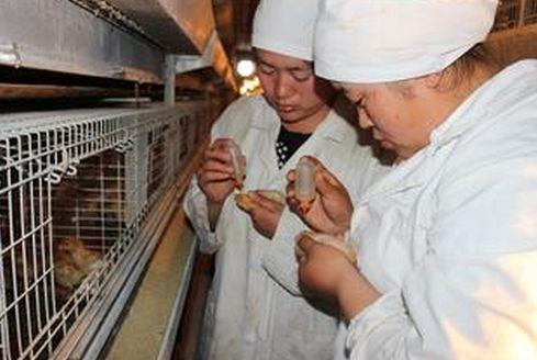 蛋先生:为什么很多搞散养土鸡的人都血本无归?