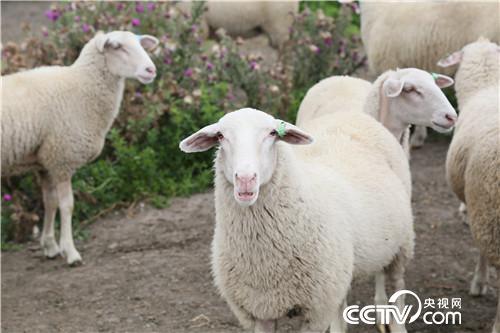 [致富经]我们在新西兰养绵羊 20190409
