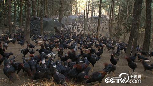 [致富经]深山密林养斗鸡 如何带来上亿元订单? 20190311