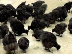 乌鸡很贵,但是为什么农民不爱养呢?