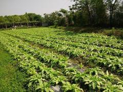 阿叔谈三农:了解关于油麦菜的特性和如何种植优质品种的油麦菜