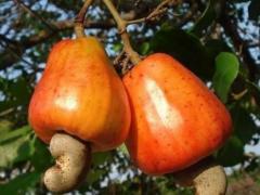 广东农村的一种野果,大小超市很常见,市场上卖到几十元一斤