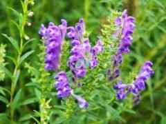 中药材黄芩价格稳中有升,种植2年可采收,亩产效益高