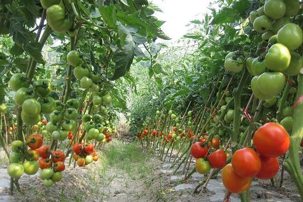 大棚蕃茄种植