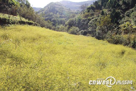 宝鸡西部山区通洞村漫山遍野的柴胡,村子里已形成万亩中药材基地