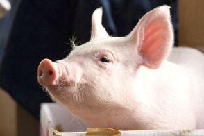 养猪网――养猪技术专题