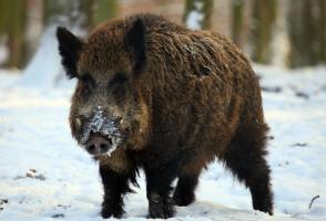 野猪网――野猪养殖技术专题
