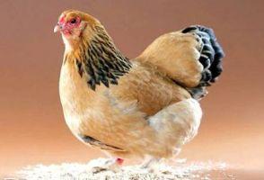 养鸡网――养鸡技术视频大全、养鸡赚钱的成功故事