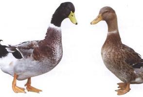 养鸭网――养鸭技术视频大全、养鸭赚钱的致富故事
