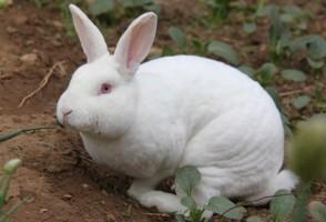 獭兔网――獭兔养殖技术视频大全、养獭兔赚钱的致富故事